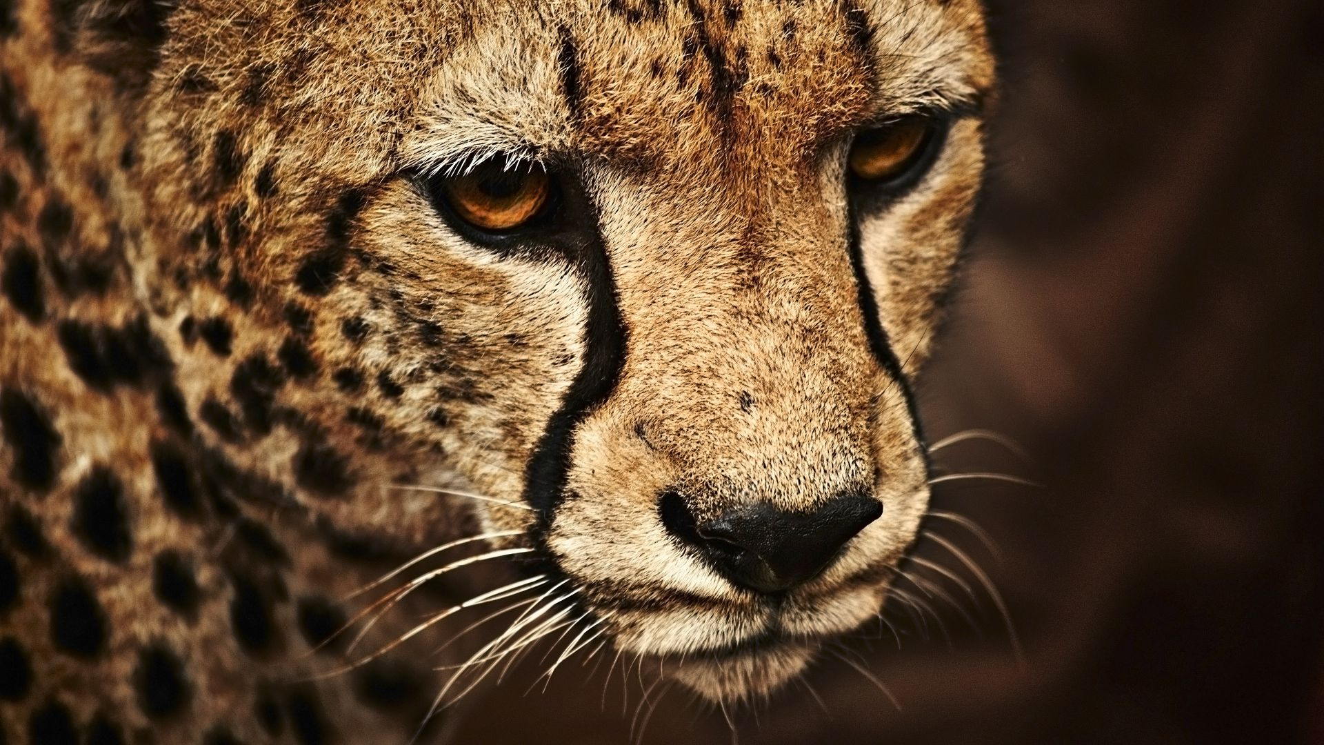 Wallpaper Cheetah Look Cute Animals Animals 5374