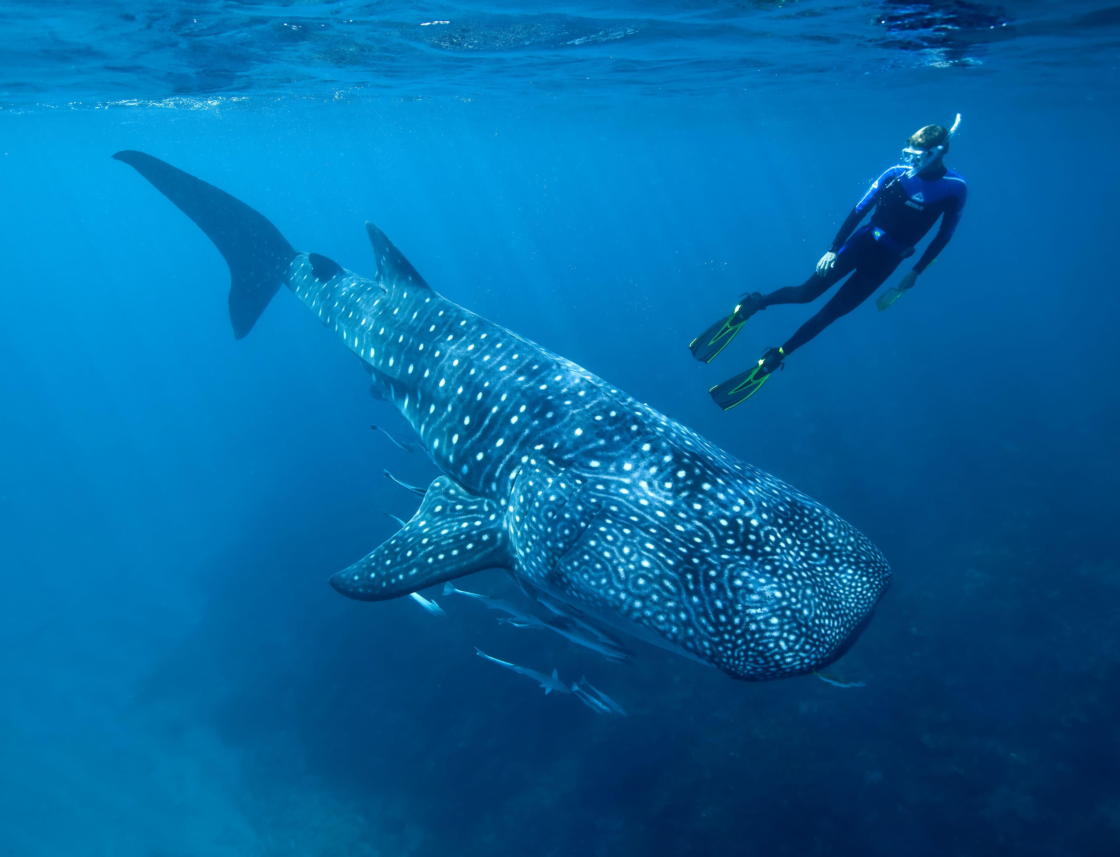 Wallpaper Whale shark, shark, atlantic, indian, pacific ... Pacific Ocean Underwater Animals